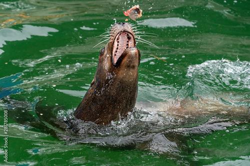 sea lion while eating a fish Canvas Print