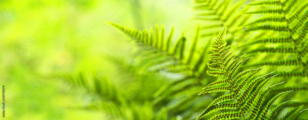 Fototapeta Beautiful ferns leaves, green foliage natural, floral fern background. Polypodiophyta, panoramic view, sunlight