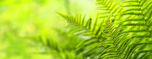 Beautiful Ferns Leaves, Green ...