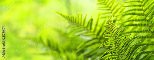 fototapeta na drzwi i meble Beautiful ferns leaves, green foliage natural, floral fern background. Polypodiophyta, panoramic view, sunlight