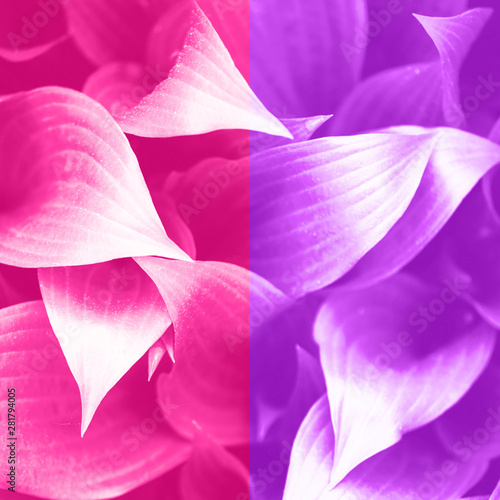 Poster Rose Leaves texture. Tropical leaf in trendy neon pink and violet color background. Banner. Top view