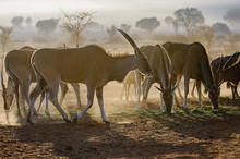 Eland Eating Grass Early In Th...