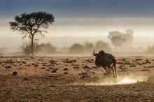 A Single Blue Wildebeest (Conn...