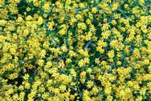 Close-up Of A Blooming Narrow-leaved Ragwort (Senecio Inaequidens), Flowering Plant In The Daisy Family Asteraceae With The Flower Heads Formed By Yellow Ligules (ray Florets)