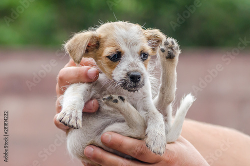Fotografiet  male hands are holding little puppy