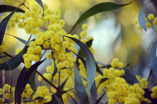 Leinwand Poster  Background of yellow flowers in dappled light of the Golden Wattle, Acacia pycnantha, family Fabaceae