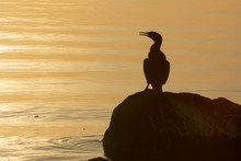 Double Crested Cormorant, Pond...