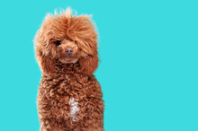 Pretty Brown Fluffy Poodle At The Teal Background