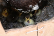 Cute Newborn Ducklings With Mo...
