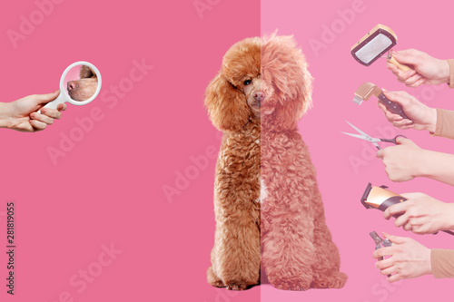 Tableau sur Toile The process of  grooming of a poodle against pink background