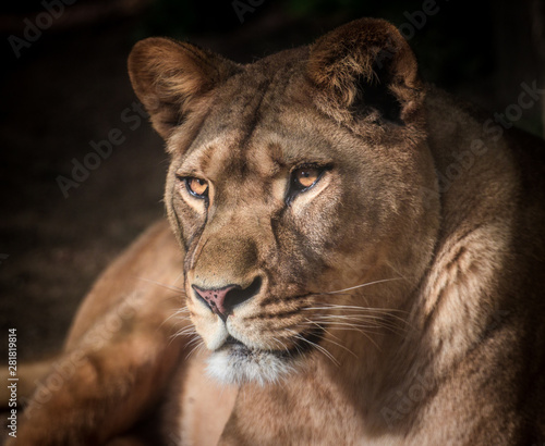Fototapety, obrazy: lion in the zoo