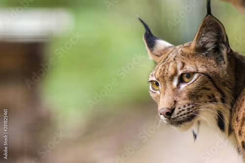 La pose en embrasure Lynx lynx