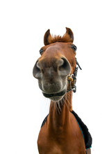 Vertical Portrait Of Brown Horse On White Background