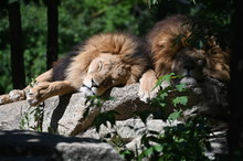 Lions Sleeping In The African ...
