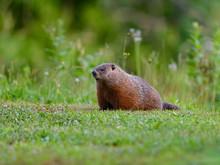 Groundhog Resting On Green Grass