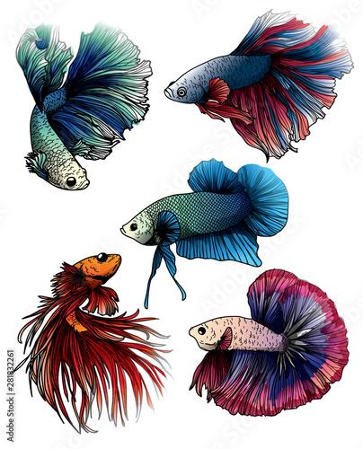 Photo Colorful betta