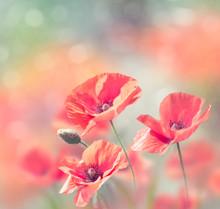 Poppy Flowers Bloom In The Gar...
