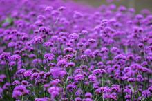 Verbena Is Blooming And Beauti...