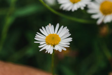 Daisy Is Blooming And Beautifu...