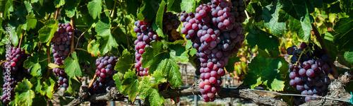 Fotografia  Grape Clusters Groups banner