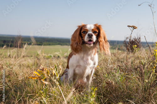 Canvas-taulu Small spaniel dog in the field