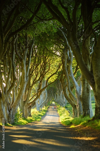 Fototapeta The Dark Hedges, an avenue of beech trees along Bregagh Road in County Antrim. Tourist attractions in Nothern Ireland. obraz