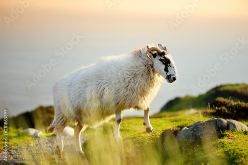Foto op Canvas Schapen Sheep marked with colorful dye grazing in green pastures. Adult sheep and baby lambs feeding in green meadows of Ireland.