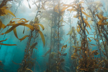 CHANNEL ISLANDS, California (USA): Kelp Forests During Scuba Diving In Channel Islands, California. Underwater Shot.