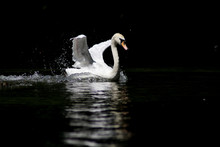 Beautiful White Swan Swimming Fast On A Black Water And His Reflection