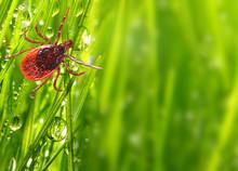 Tick On Green Grass. Dangerous...