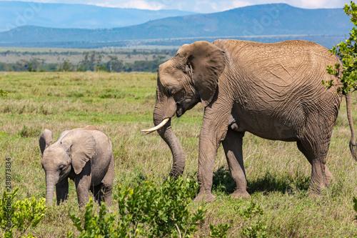 Slika na platnu Mother and calf Elephants in landscape