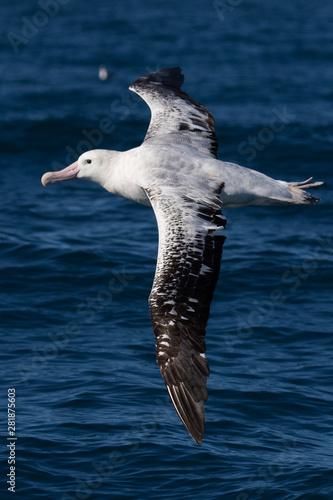 Obraz na plátne Gibson's Wandering Albatross in New Zealand