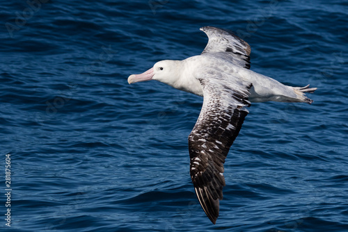 Obraz na plátne  Gibson's Wandering Albatross in New Zealand