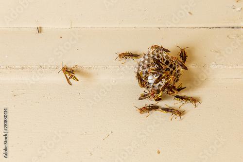 Fényképezés Wasp on paper nest hanging on porch ceiling