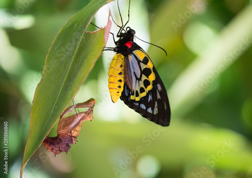 Cairns Birdwing butterfly emerges from chrysalis Canvas Print