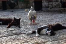 Wild Street Cat And A Chicken ...