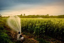 Cornfield With Water Spraying ,water,green Field,agriculture Business Concept