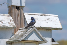 Purple Martin On Top Of A Nest...