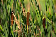 Broad-leaved Cattail (Typha La...