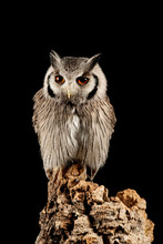 Stunning Portrait Of Southern White Faced Owl Ptilopsis Granti In Studio Setting On Black Background With Dramatic Lighting