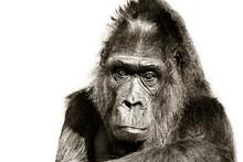 Gorilla Black And White Portra...