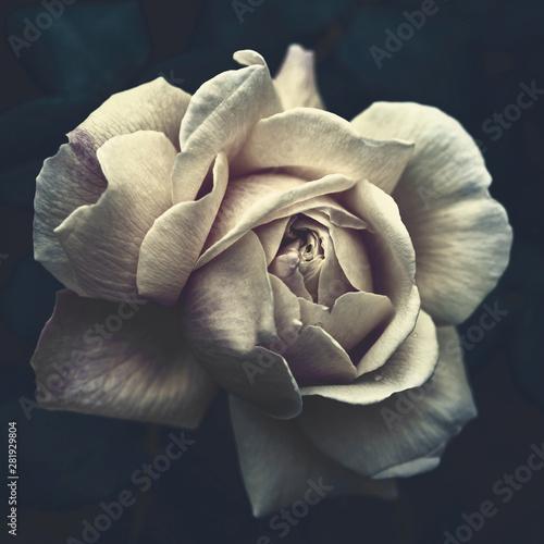 Fototapety, obrazy: White rose on a dark background close-up