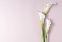 White Calla Lilies On Pink Background With Copy Space, Top View
