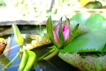 Beautiful Old Rose Pink Lotus ...