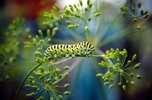 Caterpillar Of A Swallowtail P...