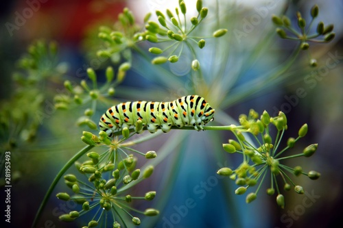 Cuadros en Lienzo  caterpillar of a swallowtail Papilio machaon on fresh green fragrant dill Anethum graveolens in the garden