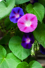 Purple And Blue Morning Glory ...