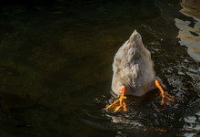 Duck In Water With Its Bottom ...