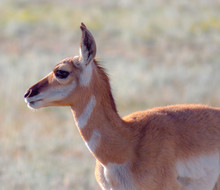 Portraits Of A Pronghorn