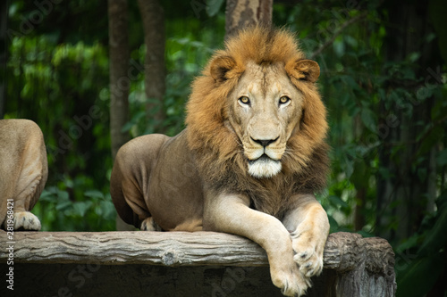 Foto op Plexiglas Leeuw Closeup solemn big male Lion lying on artificial wood bench with green nature background.